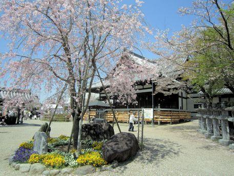 仲麻呂望郷枝垂桜と本堂