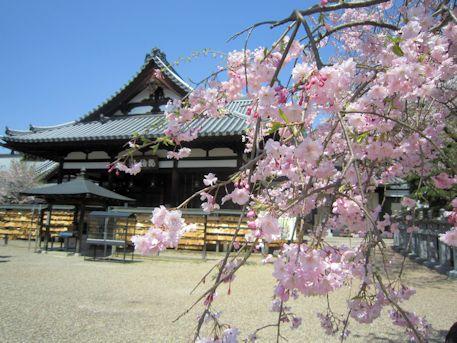 安倍文殊院本堂と桜