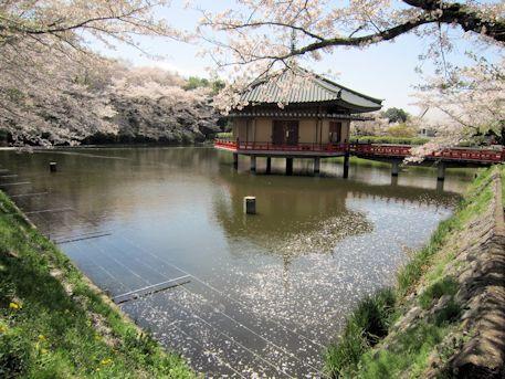 金閣浮御堂と桜