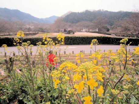 石舞台古墳と菜の花