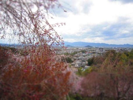 大美和の杜展望台の桜