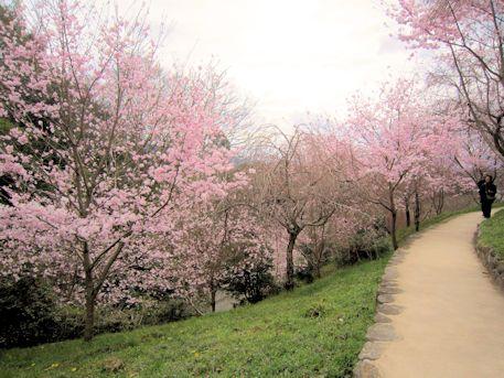 恋人の聖地に開花する桜