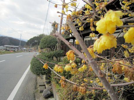 県道沿いの蝋梅