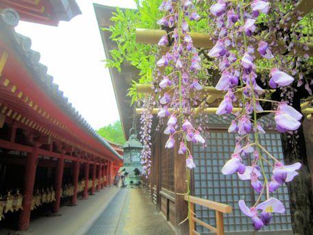 春日大社砂ずりの藤と釣灯籠
