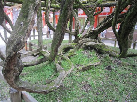 砂ずりの藤の根元
