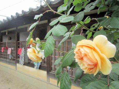 西諸尊堂と薔薇