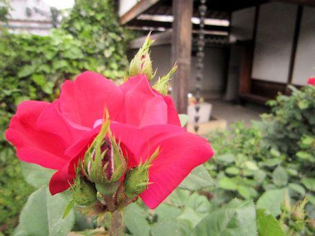 鐘楼と薔薇