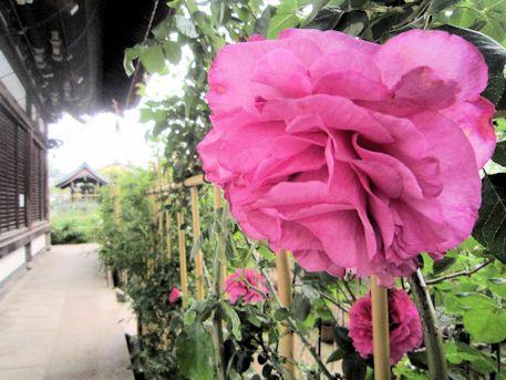 おふさ観音本堂横に開花する薔薇