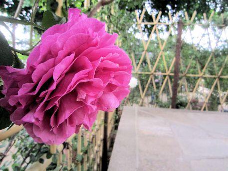 本堂横のバラ