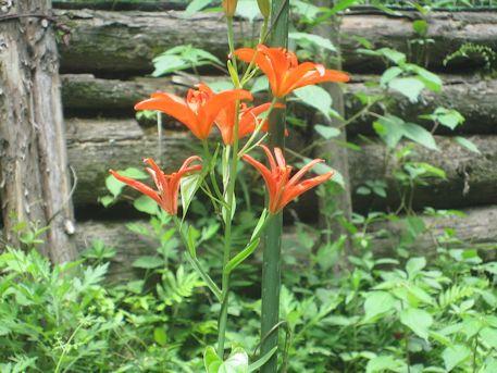 オレンジ色のささゆり