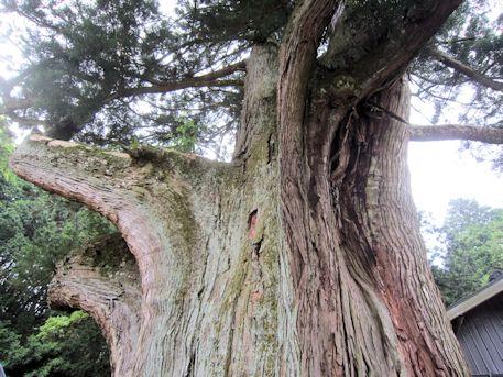下之坊の婆羅門杉