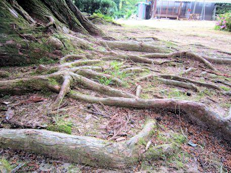 下之坊の婆羅門杉の根っこ