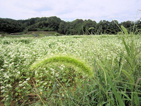 笠のそば畑