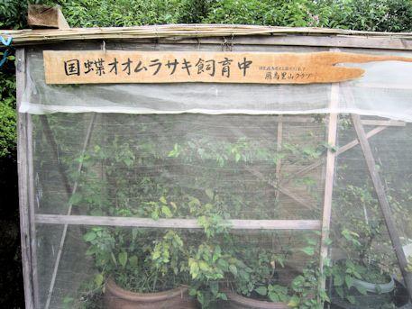 国蝶オオムラサキの人工飼育