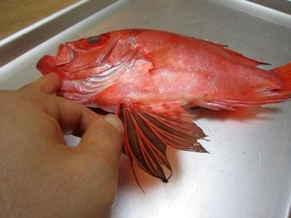 キントキ鯛の鰭