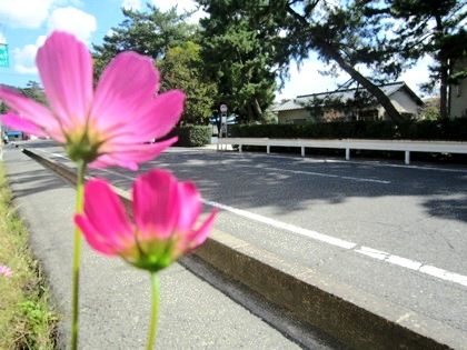 大神神社参道沿いのコスモス