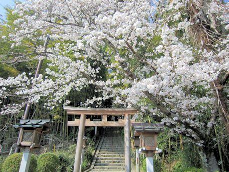 久延彦神社の桜