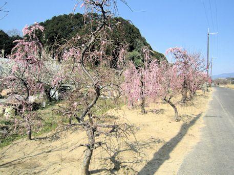 飛鳥川沿いの梅花