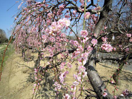 明日香村の枝垂れ梅