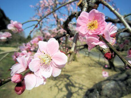 明日香村の梅花