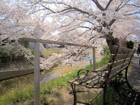 粟原川の桜とベンチ
