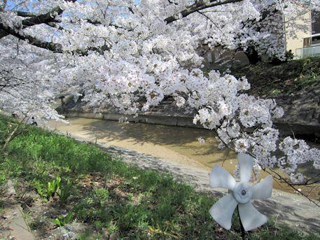 粟原川の桜