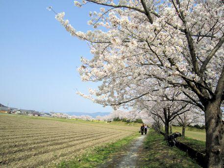 藤原宮跡の春ゾーン