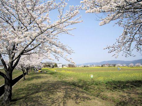 藤原宮跡の花畑