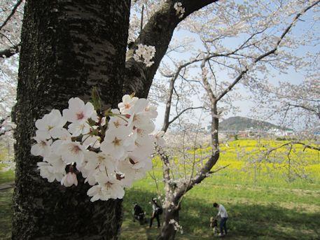藤原宮跡の花見