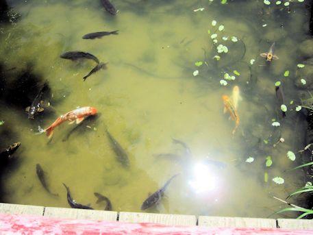 勾玉池の鯉