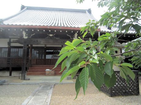 新家長福寺の桜