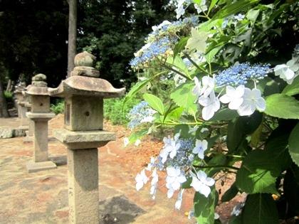 糸井神社の額紫陽花