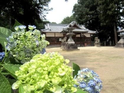 糸井神社の渦紫陽花