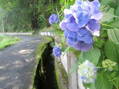 長弓寺周辺の紫陽花