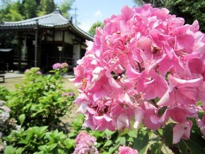 長弓寺地蔵堂と紫陽花