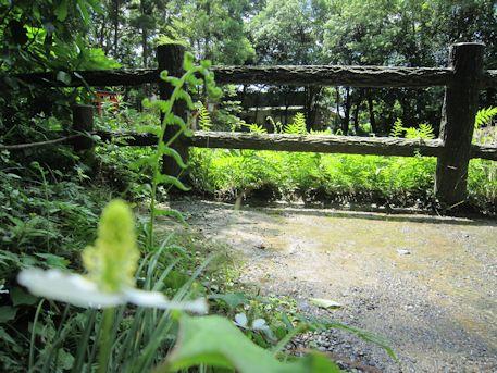 大神神社のドクダミ
