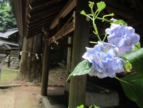 篠畑神社の紫陽花
