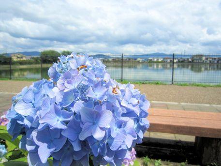 石見新池の紫陽花