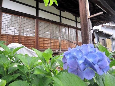 興願寺の紫陽花