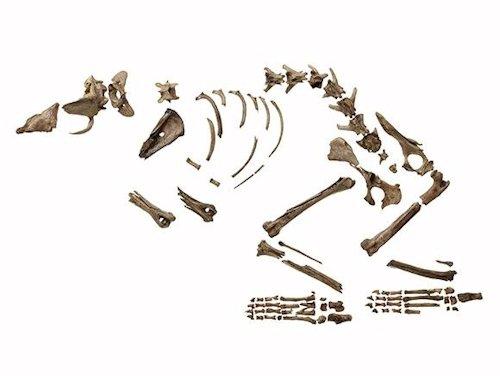 纒向遺跡出土の犬の全身骨格