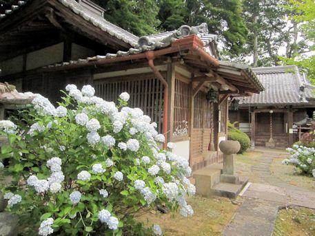 大願寺の紫陽花