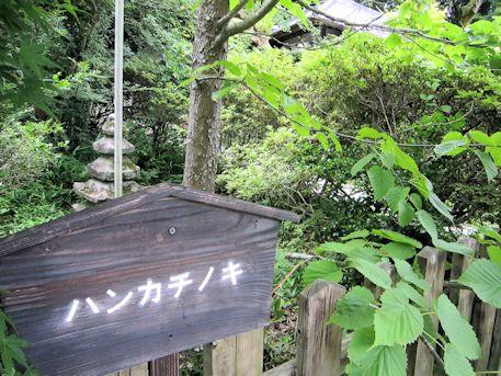 大願寺ハンカチノキ