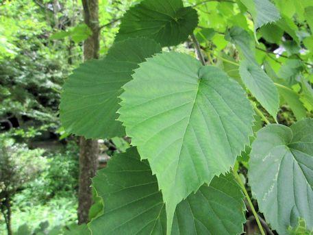 ハンカチノキの葉