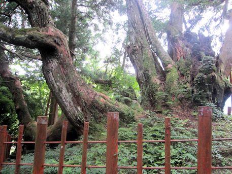 宇陀市の八ツ房杉