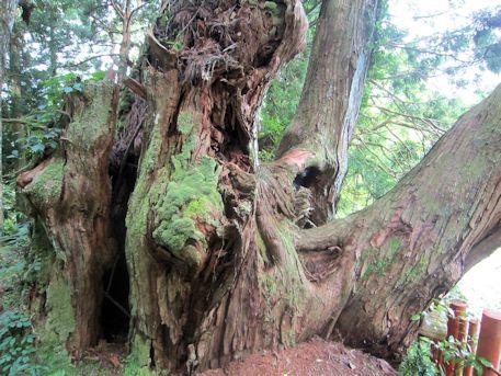 八ツ房杉の空洞
