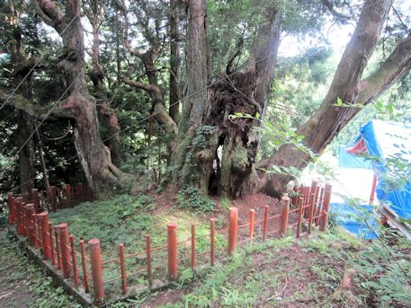 八つ房杉のワイヤー
