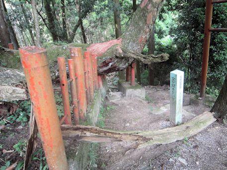 赤い樹皮の八つ房杉