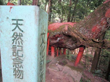 天然記念物八ツ房杉