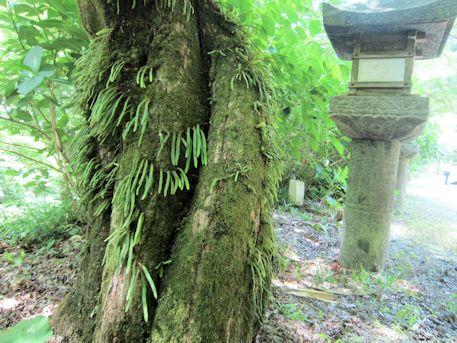 閼伽井屋傍の木