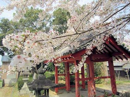 安倍文殊院表門の桜